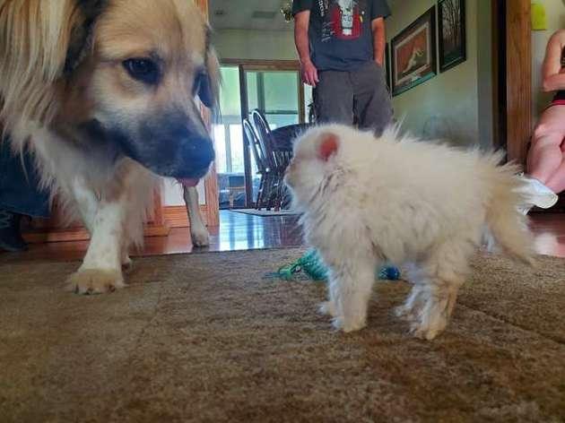 Cette toute petite chatonne montre à ses grands frères canins qui est la patronne !