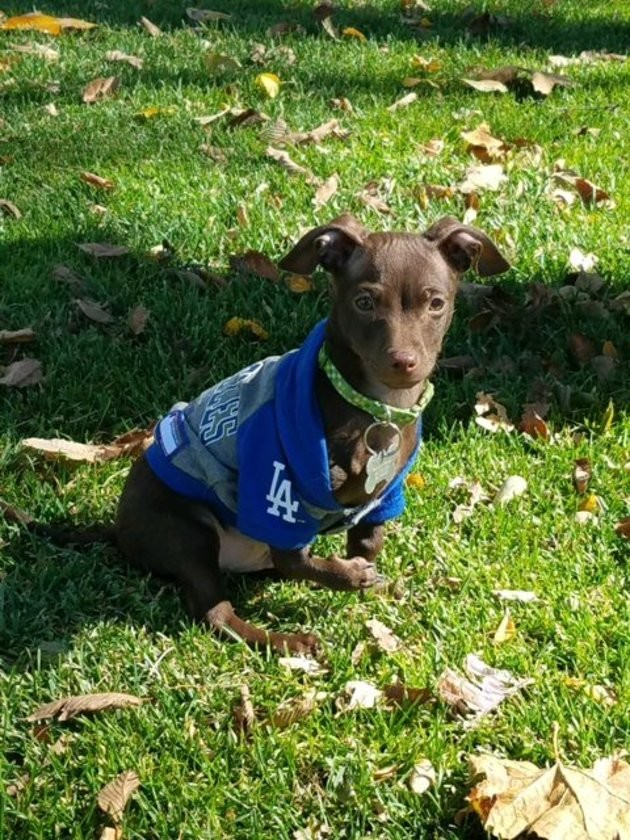 Ce Chihuahua aux pattes déformées a trouvé la meilleure famille