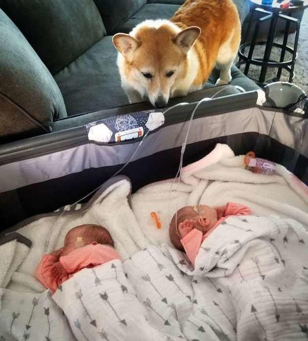 Ce beau Corgi adore ses deux petites sœurs humaines, et veille sans cesse sur elles