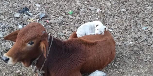 Le chien s'approche doucement de la vache endormie : tout le monde regarde la suite avec des yeux ronds
