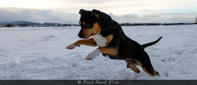 Passion Amstaff / Pitbull / Rottweiler - Forum Chiens - Wamiz
