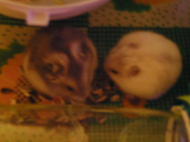 Comment couper les ongles des hamsters question - Comment couper les griffes d un lapin ...