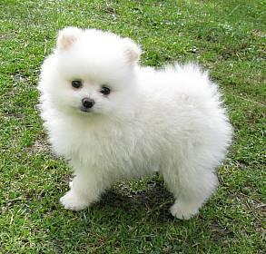 Chien spitz nain forum chiens wamiz - Foto poile ...