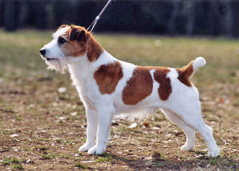 Jack Russel Terrier glücklich machen wikiHow