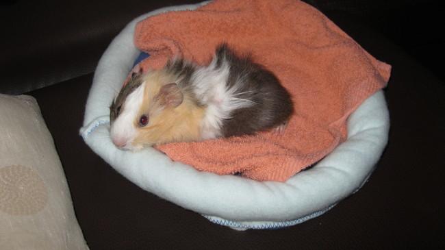 construire lit pour cochon d 39 inde forum cochon d 39 inde cochon d 39 inde wamiz. Black Bedroom Furniture Sets. Home Design Ideas