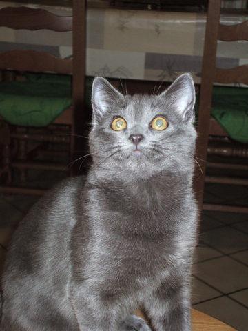 comment emp cher mon chat de retirer son pansement forum soigner son chat chartreux wamiz. Black Bedroom Furniture Sets. Home Design Ideas