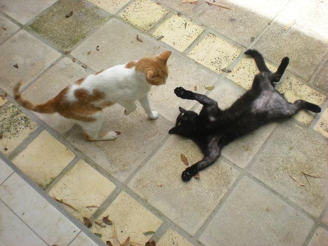 perte de poil chat