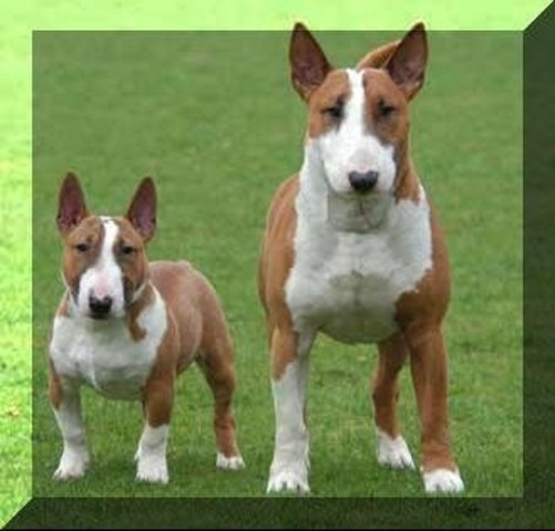 Bull Terrier Miniature Hors Norme Forum Chiens Bull Terrier Page 2 Wamiz