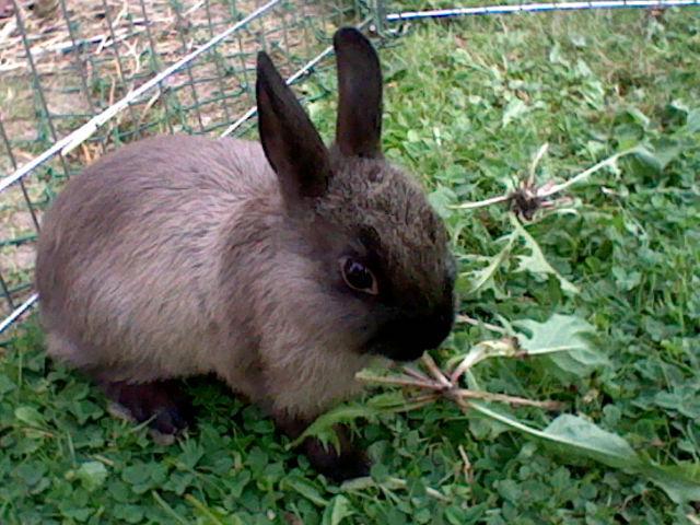 Comment d terminer l 39 ge et le sexe d 39 un lapin question lapin wamiz - Comment couper les griffes d un lapin ...
