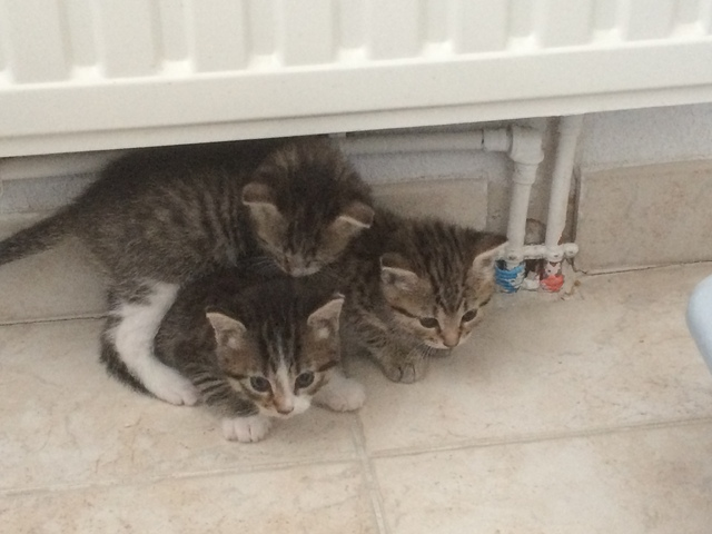 Chatons A Adopter Montpellier Forum Choisir Son Chat Europeen Wamiz