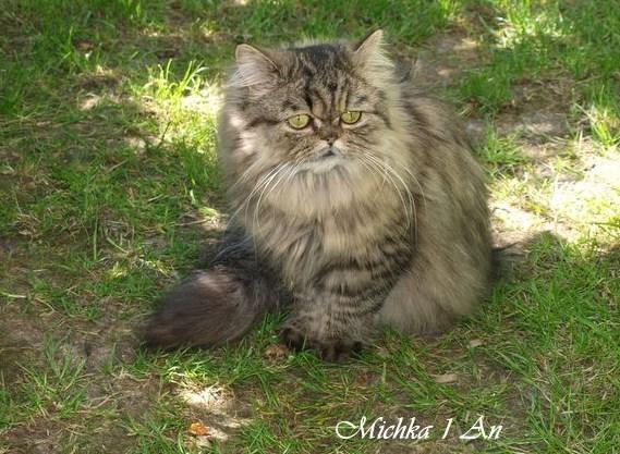 Vido chat Persan, vidos de chats de race Persan - Wamiz