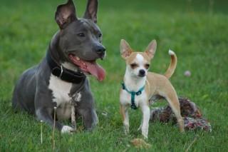 quel race de chien pour accompagner mon chihuahua forum choisir son chien chihuahua wamiz. Black Bedroom Furniture Sets. Home Design Ideas