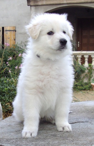 Extrem Quels chiens restent petits toute leur vie ? - question Choisir  YE05
