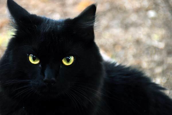 Noir chatte jpg