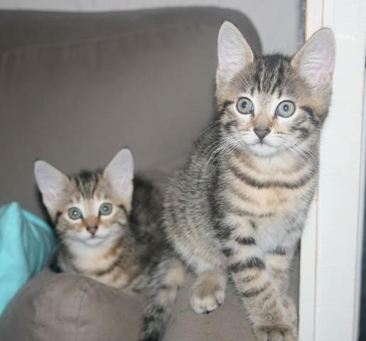 voici trois nouveaux chatons en famille d 39 accueil forum choisir son chat goutti re page 41. Black Bedroom Furniture Sets. Home Design Ideas