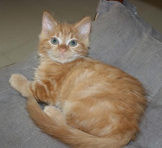 voici trois nouveaux chatons en famille d 39 accueil forum choisir son chat goutti re page. Black Bedroom Furniture Sets. Home Design Ideas