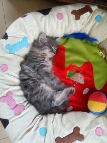 petite info sur l 39 herbe chat forum soigner son. Black Bedroom Furniture Sets. Home Design Ideas