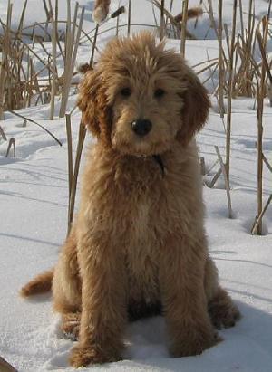 Goldendoodle - Forum Choisir son chien - Golden Retriever ... Adult Goldendoodle