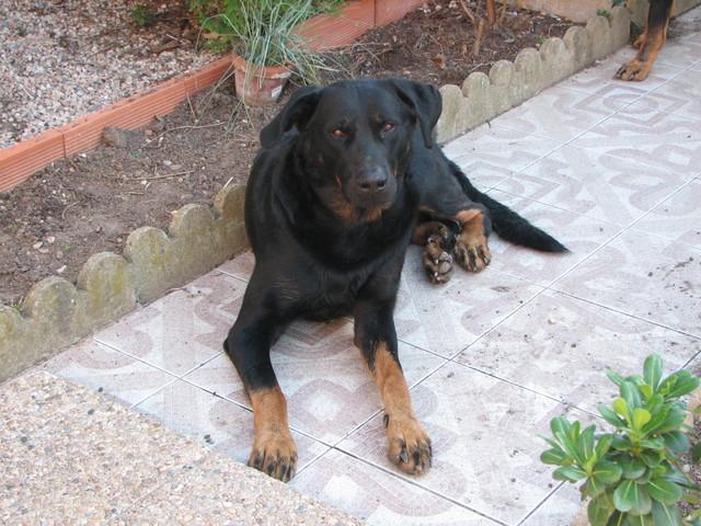 Comment sortir en balade avec un chien dominant de 54kg