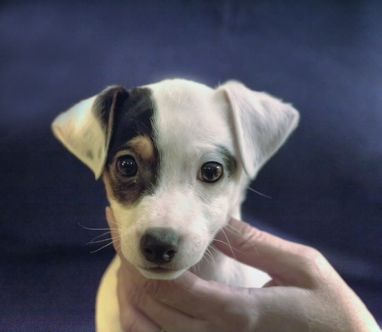 Jack Russell Forum