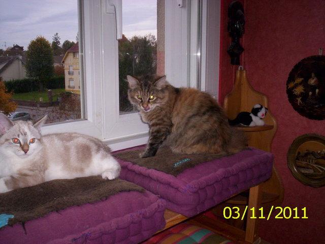 les dents de nos chats forum soigner son chat europ en wamiz. Black Bedroom Furniture Sets. Home Design Ideas
