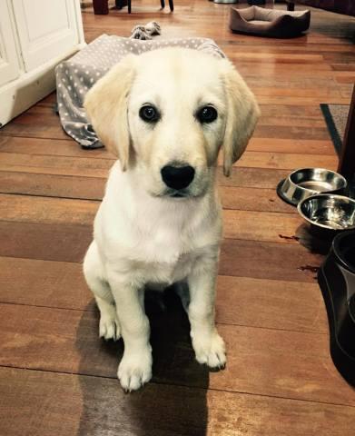 Donne Chiot Golden Retriever Croise Labrador Forum Chiens A Donner Wamiz