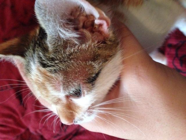 Urgent chaton malade ! Plaque rouge - Forum Soigner son chat ...