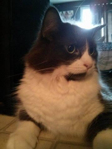 Pourquoi mon chat mange t il ses poils question - Chat qui perd pas ses poils ...