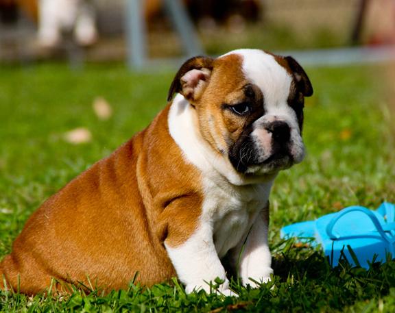 Bouledogue Anglais Chiot chiots bulldog anglais pour noêl - forum entretenir son chien