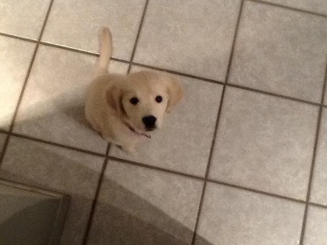 Chiot trop maigre - Forum Nourrir son chien - Golden