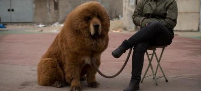 Top Chine: Le zoo qui faisait passer un chien pour un lion ferme ses  PI61