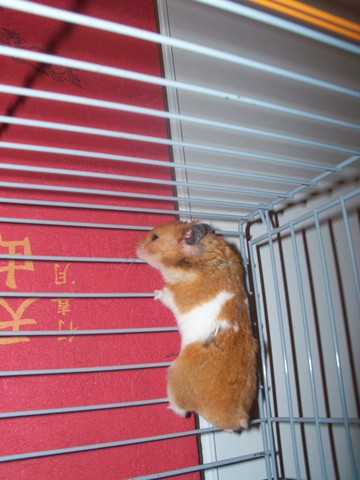 peut on mettre un hamster dans une cage a cochon d 39 inde. Black Bedroom Furniture Sets. Home Design Ideas