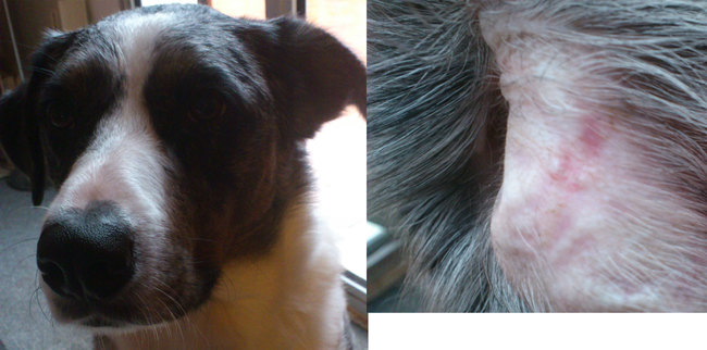 oreille qui se tient mal besoin d 39 aide svp forum soigner son chien berger australien wamiz. Black Bedroom Furniture Sets. Home Design Ideas