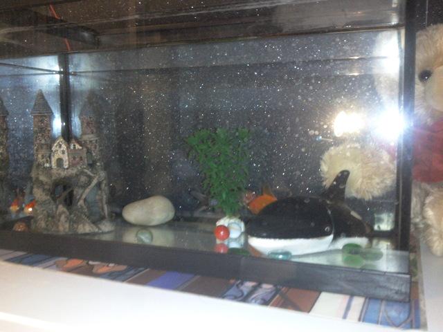 Je red core mon aquarium besoin de votre aide pour le for Nourriture poisson rouge voile de chine