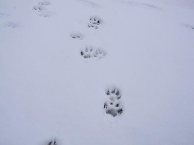 Mais qui son ces traces de pattes forum chiens wamiz - Trace de patte de chat ...