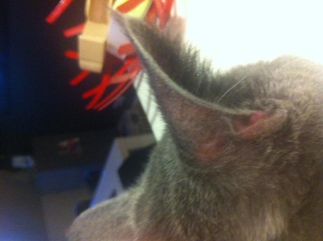 Oreille rouge forum soigner son chat chartreux wamiz for Exterieur oreille qui gratte