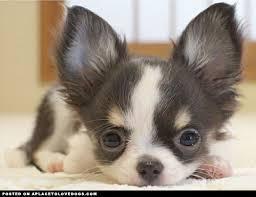 comment convaincre ses parents d 39 avoir un chihuahua forum choisir son chien chihuahua. Black Bedroom Furniture Sets. Home Design Ideas