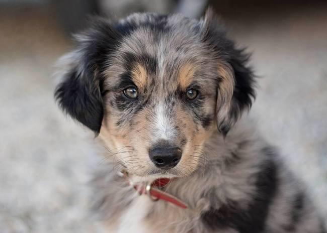Habituer un chiot à la laisse - Forum Eduquer son chien