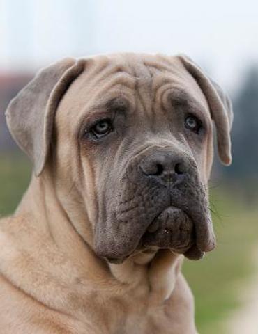 Couleur Bleu Fawn Forum Chiens American Staffordshire Terrier