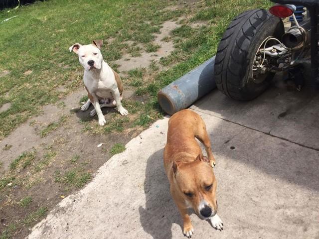 Chiot Am Staff Non Lof Forum Chiens American Staffordshire Terrier Wamiz