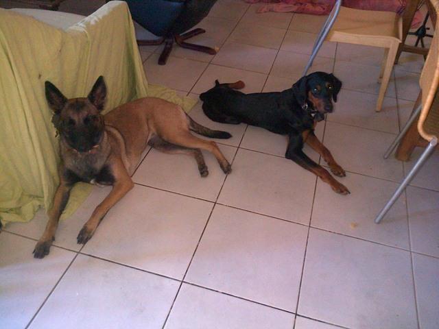 Alimentation d'un chien maigre, comment le nourrir pour qu