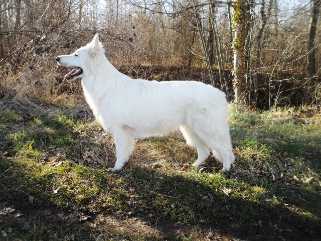 collier pour chien berger suisse