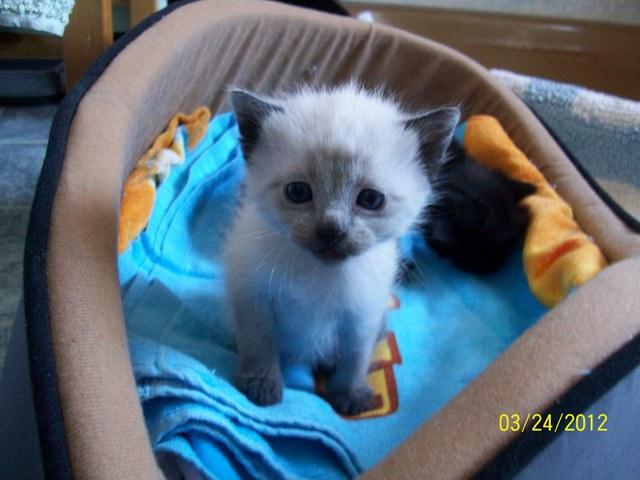 Avis chaton blanc trop mignon chat siamois