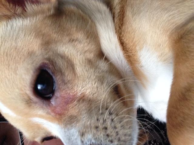 Mon chien a le contour de l 39 oeil rouge et perd ses poils for Interieur yeux rouge