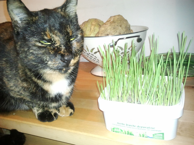 L 39 herbe chat que mon chat n 39 aime pas forum comprendre - Herbe a chat graine ...