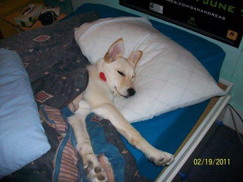 De quelle race est mon chien forum chiens page 4 wamiz - Race chien volt ...