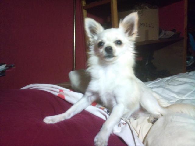 Recherche Femelle Poil Long Forum Chiens Chihuahua Wamiz