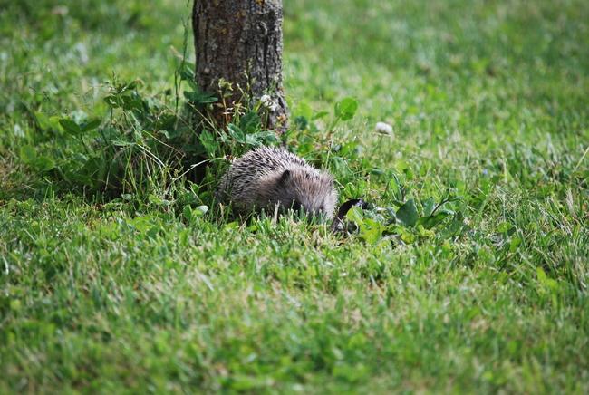 H risson dans mon jardin forum animaux sauvages wamiz for Herisson dans mon jardin