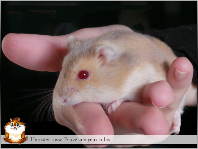 Comment savoir si votre hamster nain est enceinte