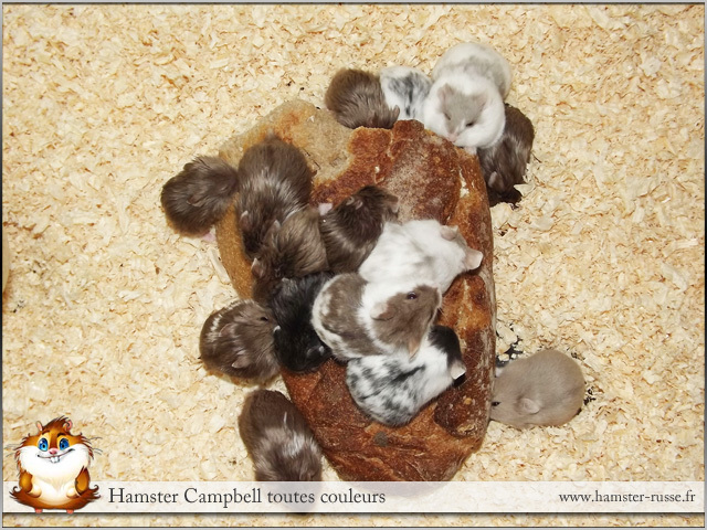 Mon hamster dor femelle enceinte comment savoir